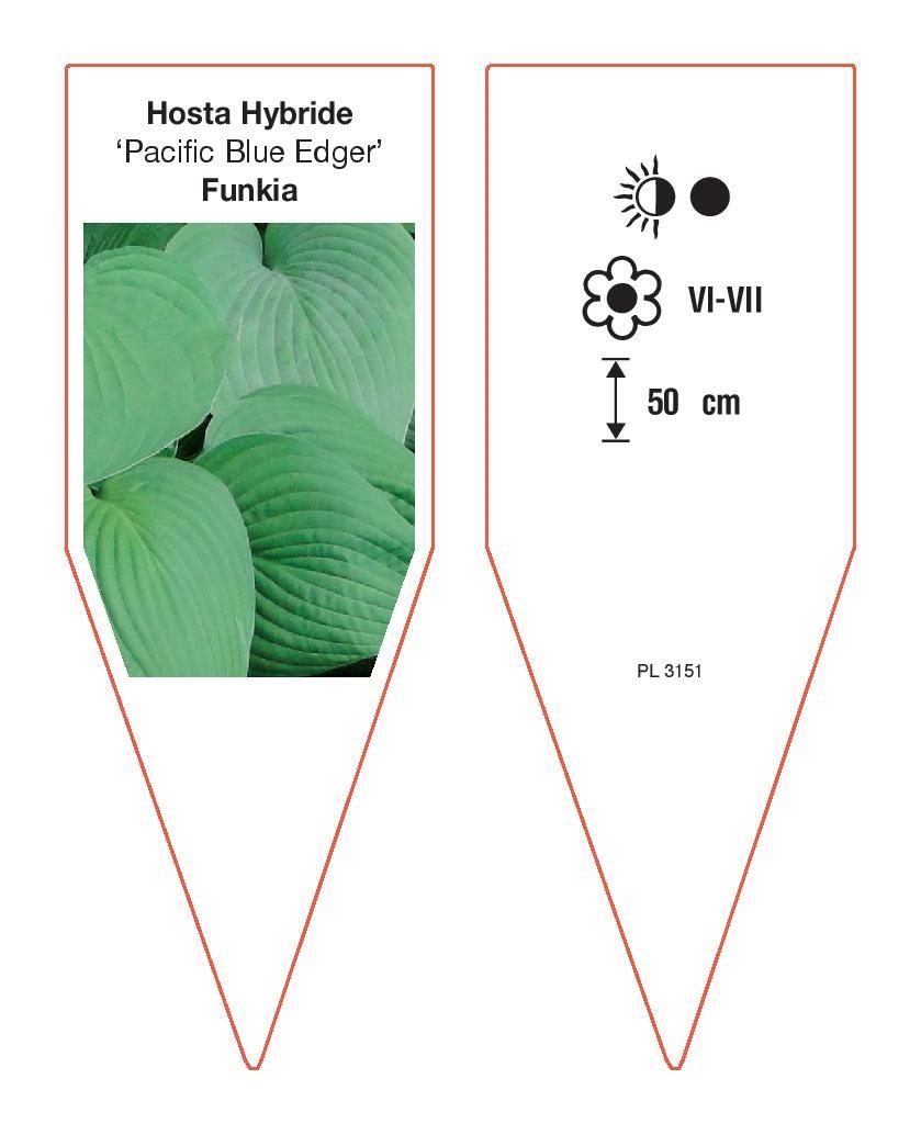 Hosta Hybrida Pacific Blue Edger Sklep